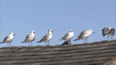 Seagulls standing in a row on a tiled roof. Stock Footage