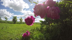 beautiful summer flowers peony blossoms in wind and  sunbeam. Timelapse 4K - stock footage