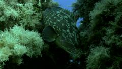 UltraHD underwater shot of dusky grouper at reef Stock Footage