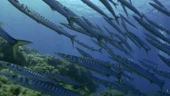 UltraHD underwater shot of schooling barracudas, low angle shot Stock Footage