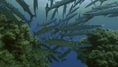 UltraHD underwater shot of many schooling barracudas over reef Stock Footage