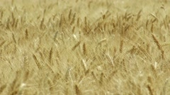 4K Summer Wheat Field 1 Stock Footage