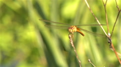 A dragonfly holds on to the top of a twig in a light breeze. Stock Footage
