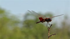 A dragonfly perches on a branch in a gentle breeze. Stock Footage