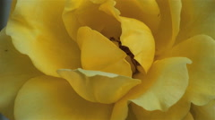 Close-up of a perfect yellow rose against a clapboarded house with a stone Stock Footage