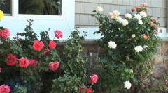 A beautiful group of white, pink, white, and yellow roses. Stock Footage