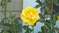 A perfect yellow rose sways in a gentle breeze. Stock Footage