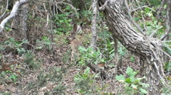 Zooming in shot of a jackrabbit in a forest in Utah Stock Footage
