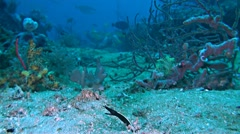 Ribbon eel in the sandy bottom Stock Footage