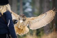 Flying Eurasian Eagle Owl in colorfull winter forest Stock Photos