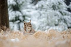 Eurasian lynx lying on ground in winter time. Yellow grass in cold freeze tim Stock Photos