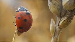 Ladybird flying between stalks of wheat in a field Stock Footage