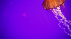 Jellyfish Swimming Against Purple Background Stock Footage