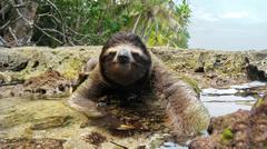 Sloth crossing puddle on ground of tropical coast Stock Photos