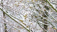 Hamamelis flower in snow Stock Footage