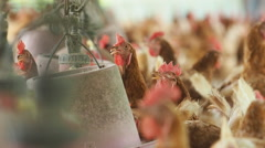 Hen egg, Chicken in farm. clip with sound. - stock footage