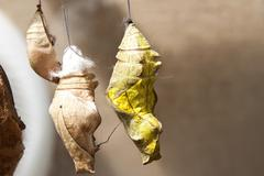 Butterfly Cocoons Hanging on a Twig Stock Photos