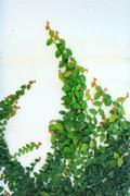 The Green Creeper Plant Stock Photos