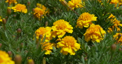Flower yellow Stock Footage