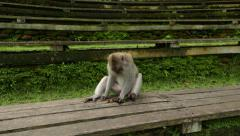 Monkey knocks stone on boarding, try to fold in leaf, investigate Stock Footage