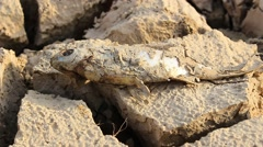 Dead fish on drought land Stock Footage
