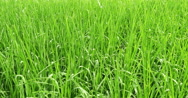 Stock Video Footage of rice plant cultivation