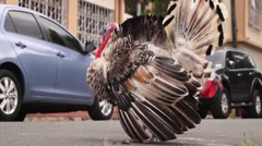Stock Video Footage of Male turkey in courting mood