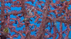 Pink Pygmy seahorse with porcelain crab and shrimps Stock Footage