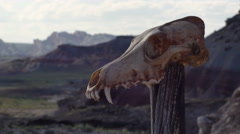 Coyote Skull in Badlands Wilderness Primal Savage Time Lapse Shadows Stock Footage
