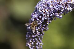 Honey bee on purple butterfly bush, macro Stock Photos