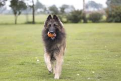 Dog, Belgian Shepherd Tervuren, running with orange ball Stock Photos