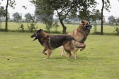 Two dogs, Belgian Shepherd Tervuren, playing in grass Stock Photos