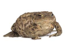 Hoptoad isolated on white background Stock Photos