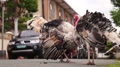Stock Video Footage of Street roaming turkeys