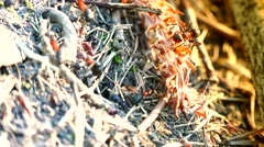ULTRA HD 4K real time shot,wild red ants build their anthill Stock Footage