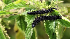 Peacock Butterfly Caterpillars Feeding on Stinging Nettle - stock footage