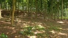 Stock Video Footage of POV walk through sparse forest hillside, thin tree trunks, sun spots on ground
