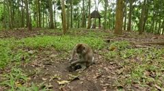 Macaque rummage water tap stuck out of the ground in park forest Stock Footage