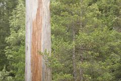 Eucalyptus Tree remote Rainforest Tasmania - stock photo