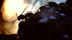 ULTRA HD 4K, real time shot close up of The European hornet Stock Footage