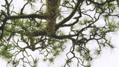 Moving shot under a Japanese pine tree Stock Footage