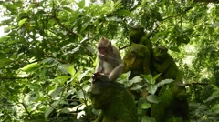 Juvenile macaque eat coconut, sit on mossy stone monkey statue in leaves Stock Footage