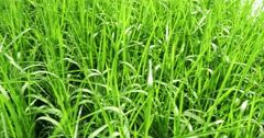 Rice plant cultivation close up Stock Footage