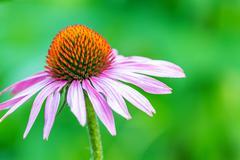 beautiful echinacea - stock photo