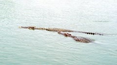Crocodile swimming Stock Footage