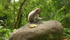 Juvenile macaque eat crumbs from large stone near Canang sari with incense stick Stock Footage