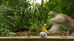 Stock Video Footage of Monkey drop white spray can and jump away, with sound
