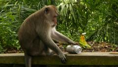 Macaque pick up aerosol can and investigate it, environment sounds Stock Footage