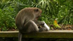 Macaque slowly investigate used spray can, side closeup view Stock Footage