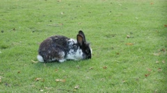 Lovely bunny in the field eating grass 4K 3840X2160 UltraHD footage - Rabbit Stock Footage